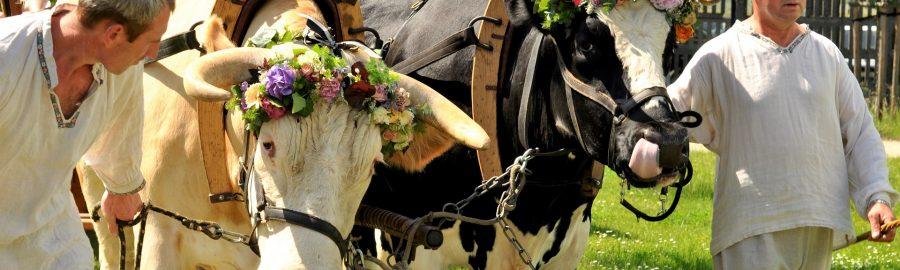 Festyn Zielonoświątkowy w Muzeum Rolnictwa w Szreniawie. Parada umajonych wołów